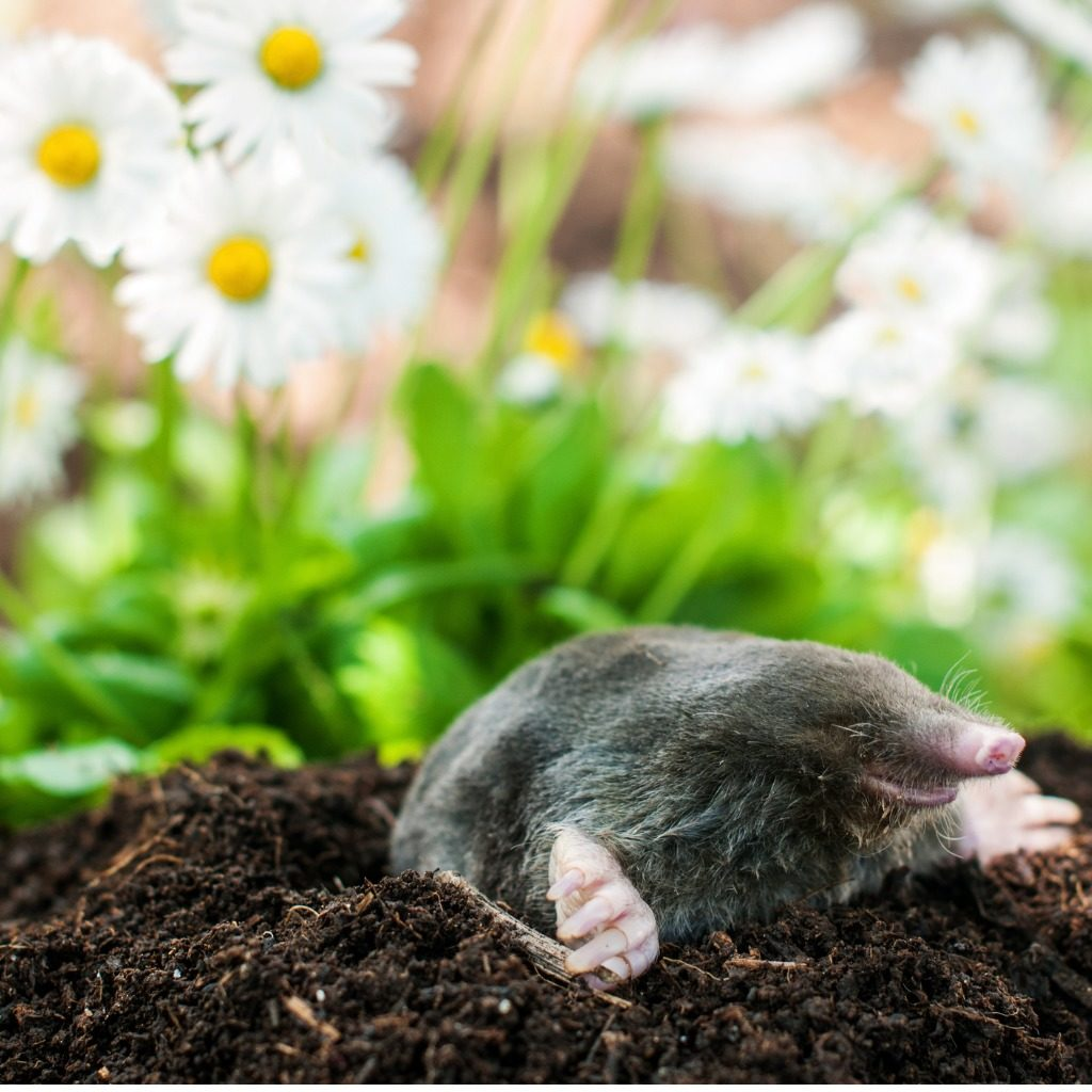 A mole emerging from a mole hill which will be caught by AS Countryside Services so the garden is mole free